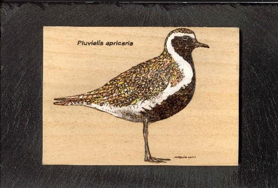 Pluvialis